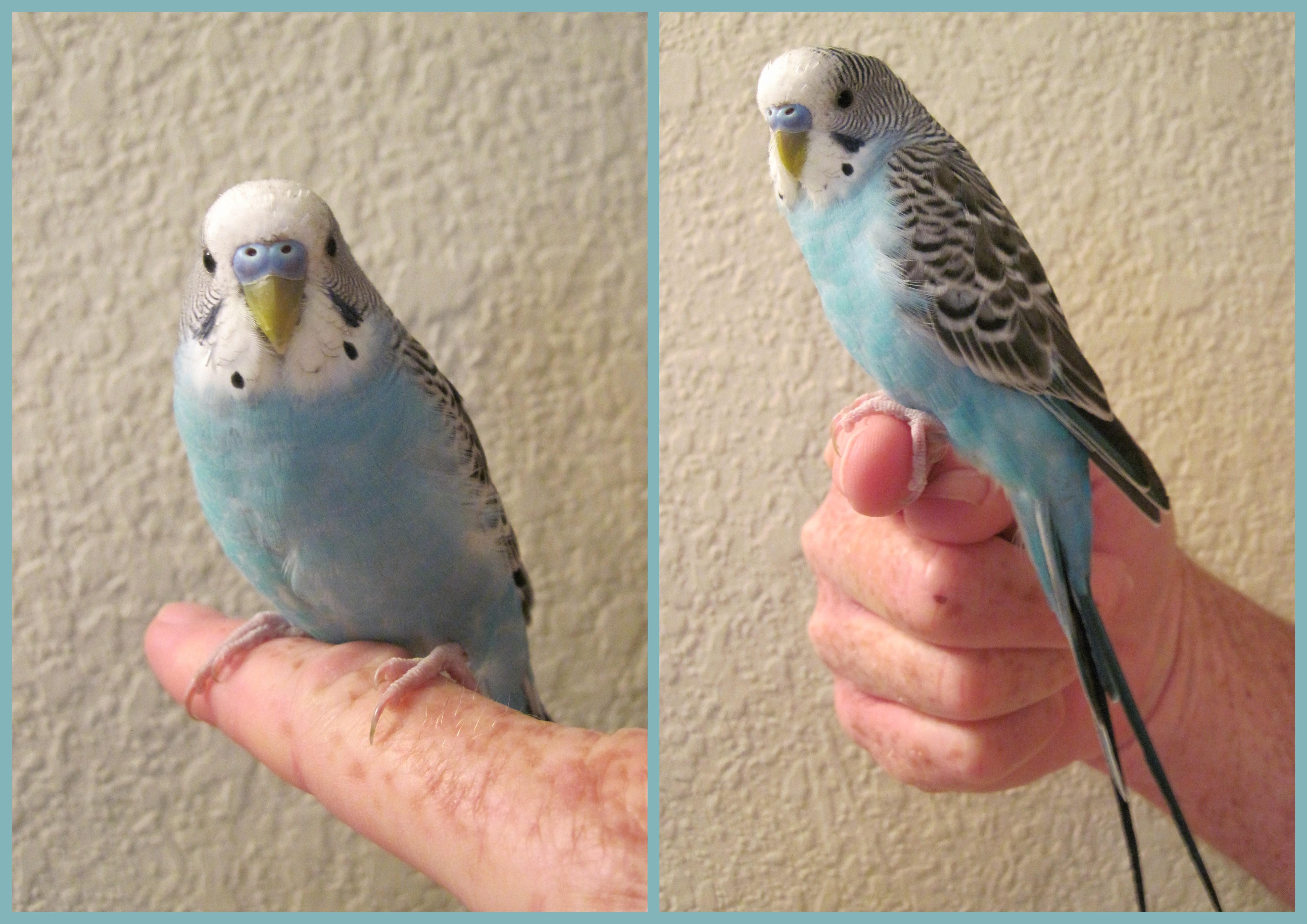 blue parakeet � sheila365