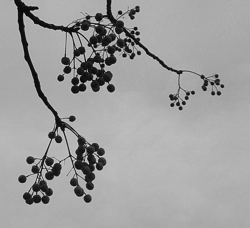Chinaberry.