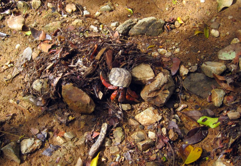 Hermit crab on Lameshur trail.