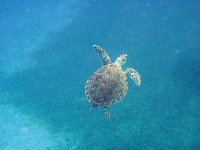 Turtle dude surfacing - 2