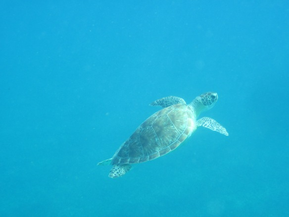 Turtle dude surfacing - 1