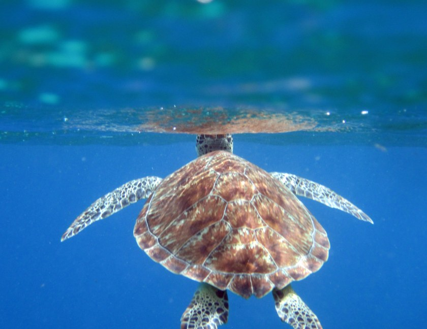 Turtle dude surfacing - 3
