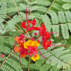 My Pride of Barbados bloomed in September
